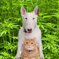 Medicinal cannabis for pets