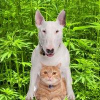Medical Hemp For Pets?