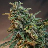 Katelyn Faith - Cannabis - CBD