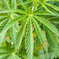 Cannabis, hemp and pesticide