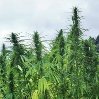 Industrial hemp in Virginia
