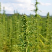 Industrial hemp in Europe