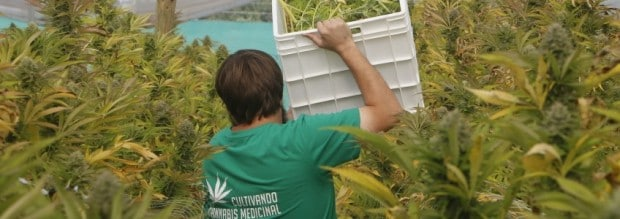 Harvesting medical cannabis in Chile