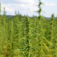 Industrial hemp trials - Northern Territory, Australia