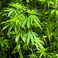 Marijuana and hemp - Kazakhstan