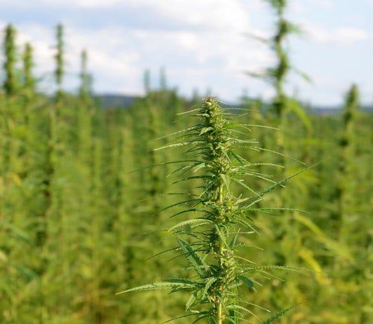 North Dakota Hemp Harvest
