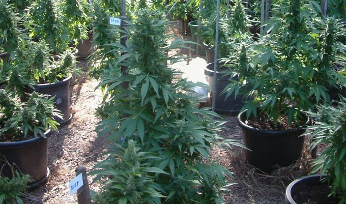 Medicinal marijuana - Michigan