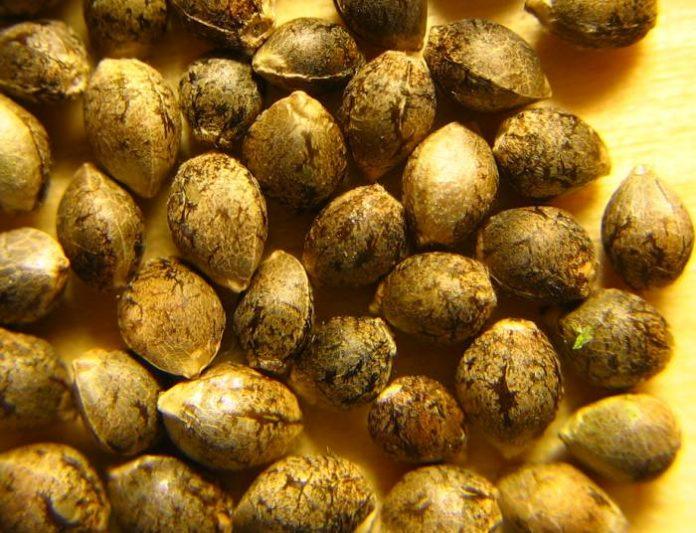 Medical cannabis seed - Queensland, Australia