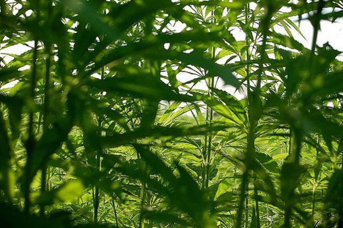 Industrial hemp in Washington state