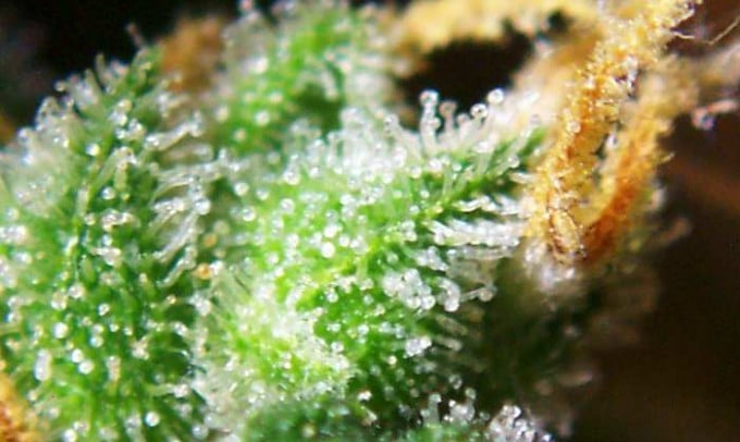 Medicinal marijuana in Jamaica