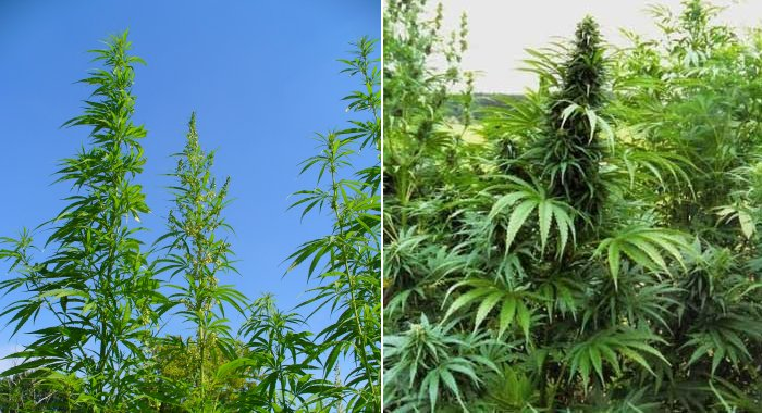 Industrial hemp vs. marijuana