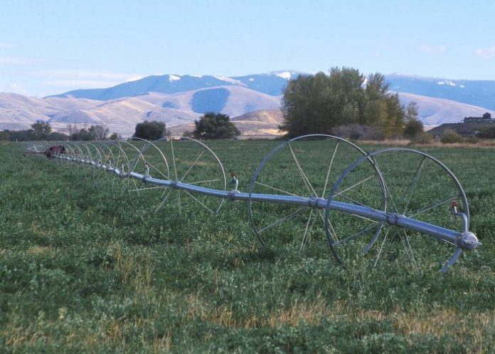 Irrigating industrial hemp
