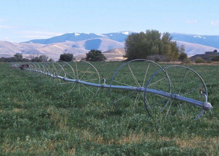 Irrigating industrial hemp