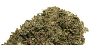 Medical cannabis study