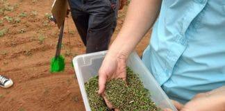 hemp seed harvested