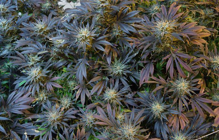 myth-busting marijuana medicine