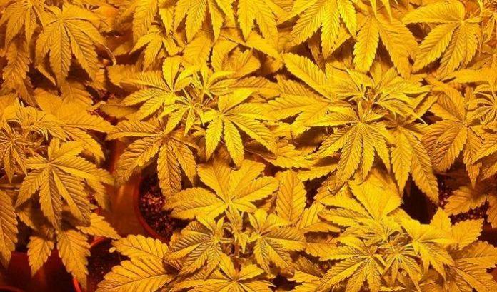 Medicinal Marijuana - Philippines