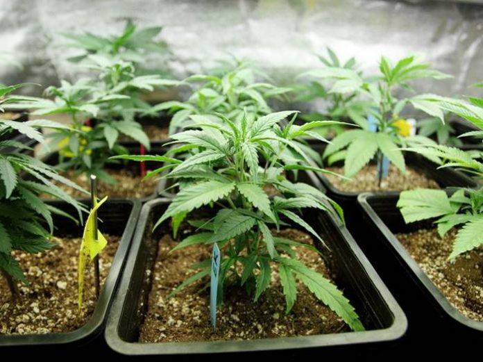 Medical marijuana in Western Australia