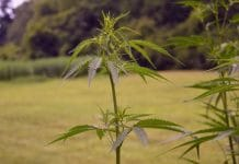 Industrial hemp in Pennsylvania