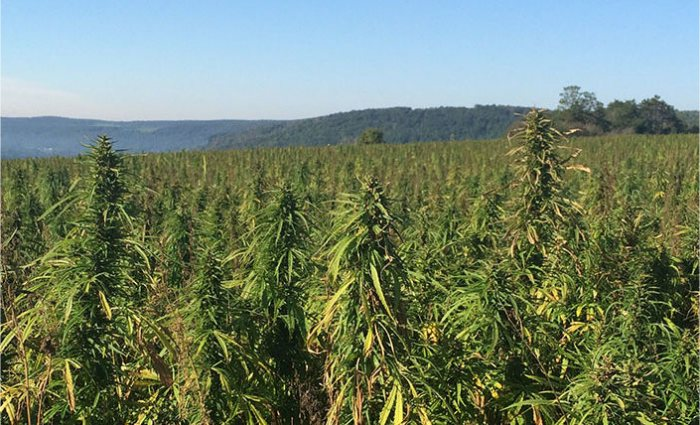 Dozens Of Permits Issued For New York's Industrial Hemp Pilot