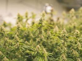 Cannabis quality testing