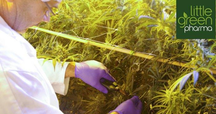 Australia's Little Green Pharma Harvests First Medicinal Cannabis Crop