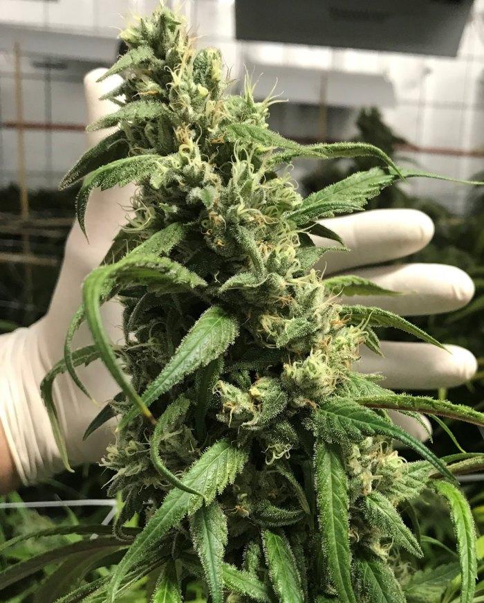 Little Green Pharma medical cannabis
