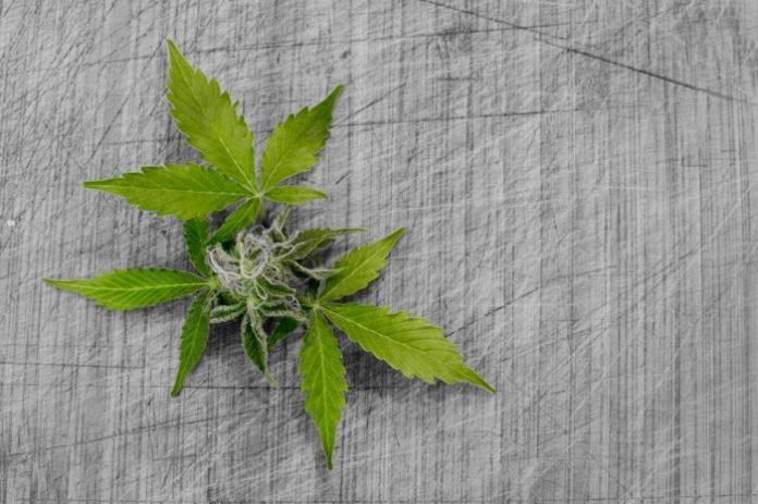 Medicinal marijuana poll - New Zealand