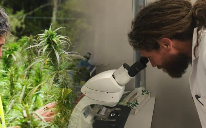 Hikurangi Cannabis cultivation licence