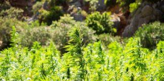 Industrial hemp plant theft