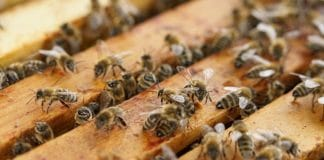 Bees and industrial hemp