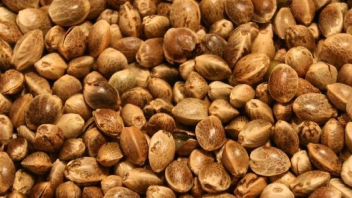 Certified hemp seed in Colorado