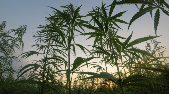 Industrial hemp in Texas