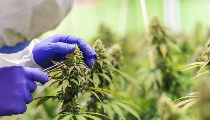 GP medical cannabis survey - New Zealand