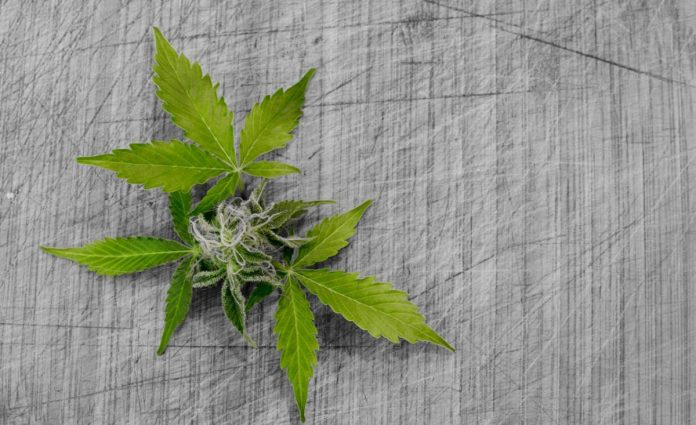 Minnesota medicinal cannabis