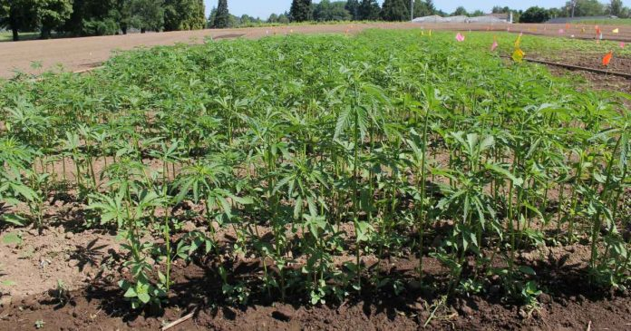 Oregon State University Global Hemp Innovation Center