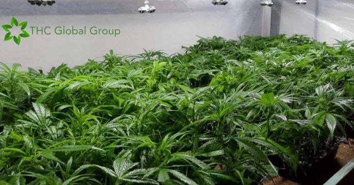 THC Global cannabis licence
