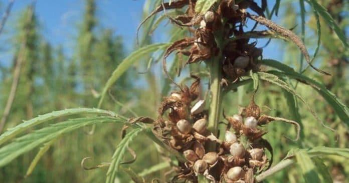 Northern Territory hemp industry bill
