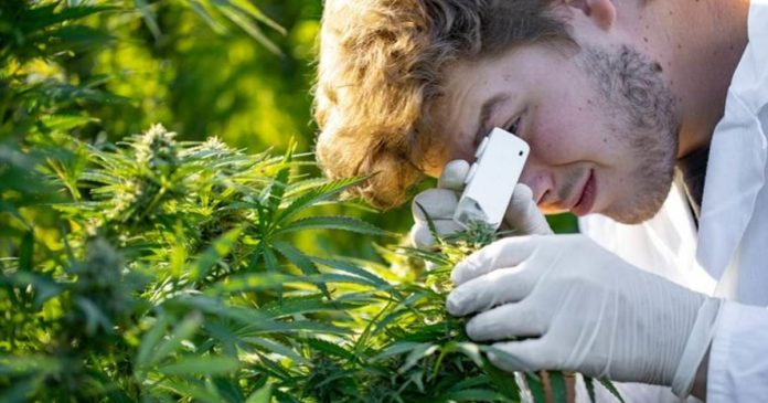 Cannabis research in New South Wales