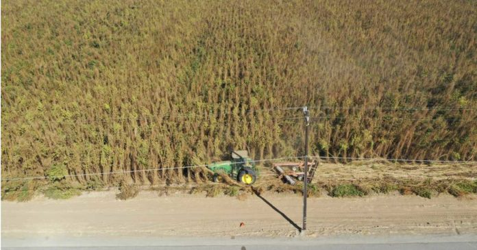 Hemp crop destroyed