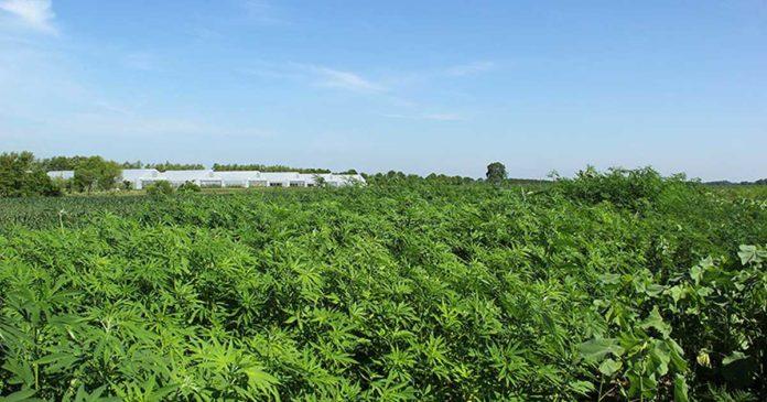 Organic hemp research