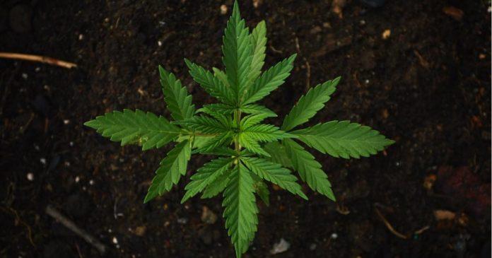 THCP And CBDP - cannabinoids