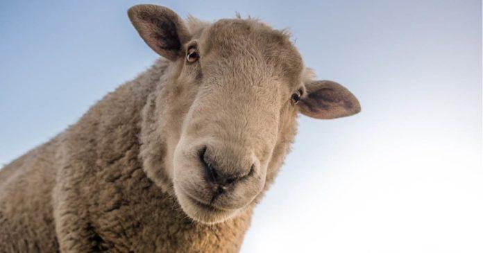 Hemp as sheep feed