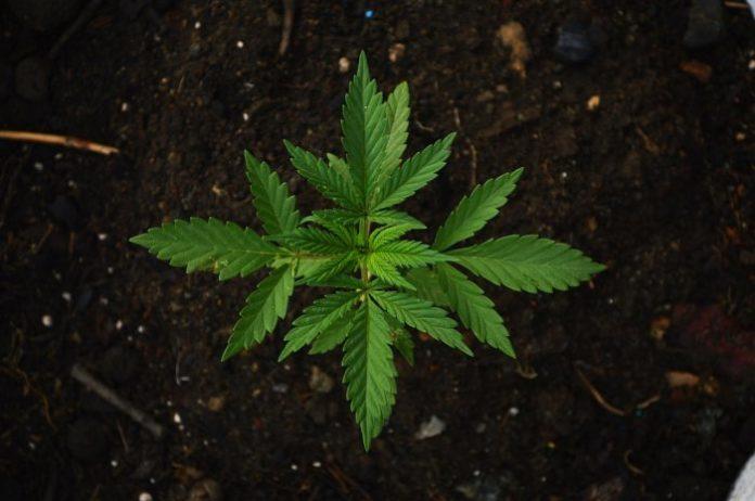 Cannabis scheduling vote - UN