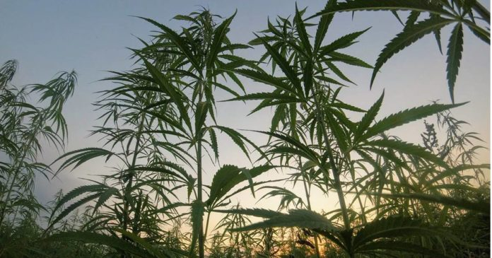 More USDA hemp plan approvals