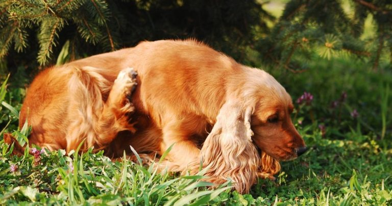Cannabis Showing Promise For Treating Dermatitis In Dogs
