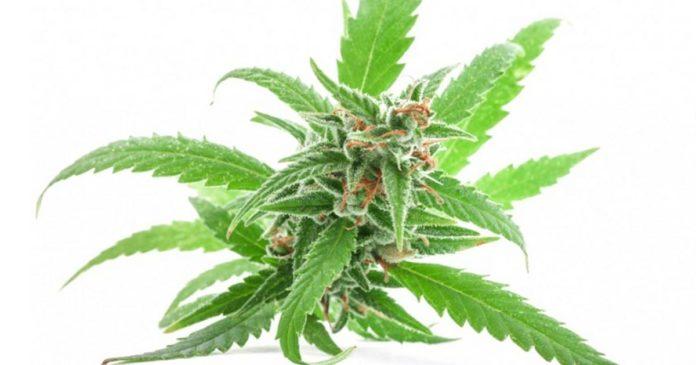 Tasmanian Alkaloids cannabis facility