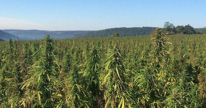 New York State Cannabinoid Hemp Regulations