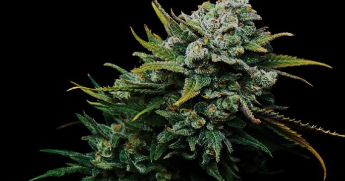 Australian Natural Therapeutic Group and Asterion Cannabis