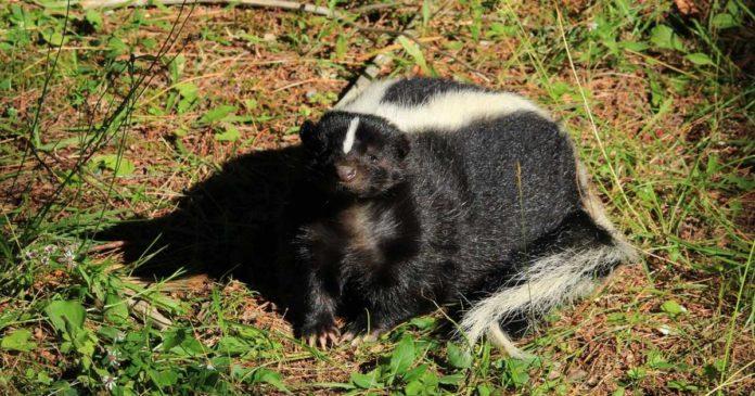 Cannabis skunk smell